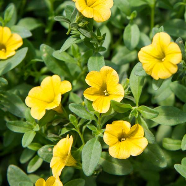 Calibrachoa Lemonade - Rooted Cutting Liner