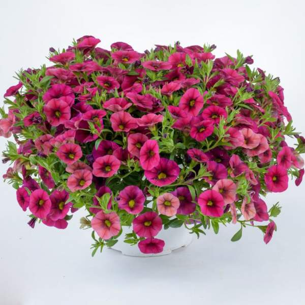 Calibrachoa Noa Cherry  - Rooted Cutting Liner