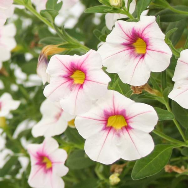Calibrachoa Polar Pink - Rooted Cutting Liner