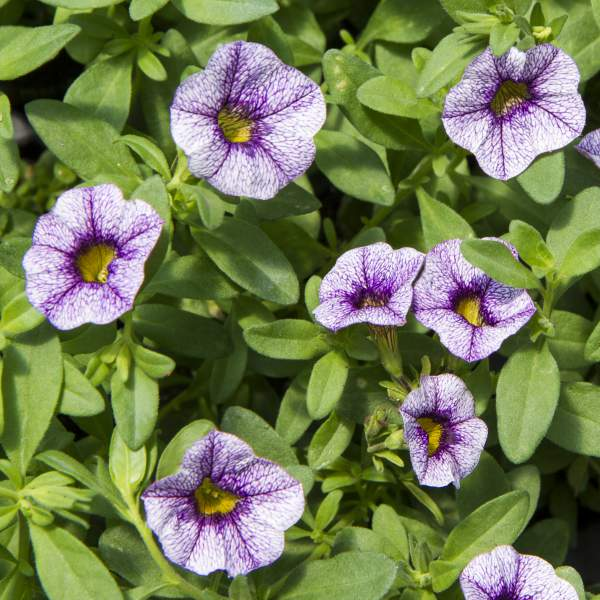 Calibrachoa Purple Cow - Unrooted Cuttings