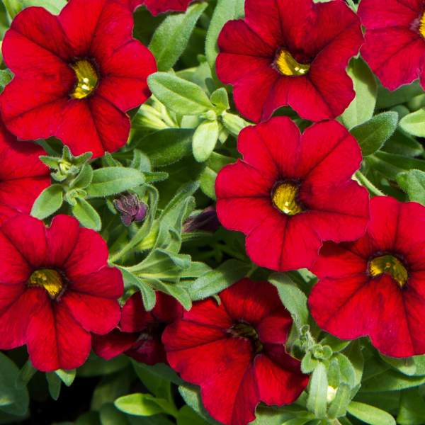 Calibrachoa Red - Rooted Cutting Liner