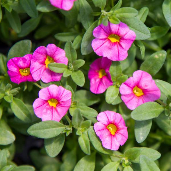 Image Of Calibrachoa Soft Pink