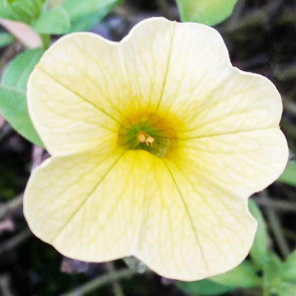 Calibrachoa Soft Yellow - Unrooted Cuttings