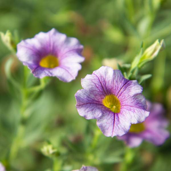 Calibrachoa Sugar Plum - Unrooted Cuttings