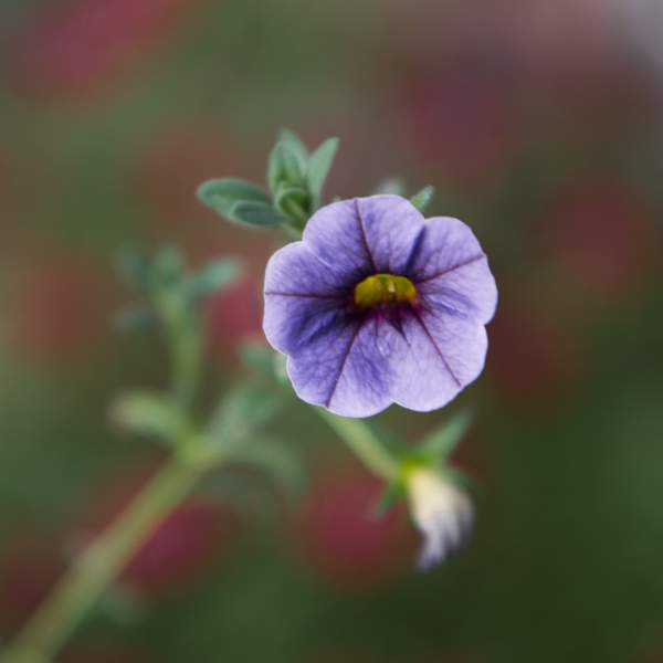 Image Of Calibrachoa Violet