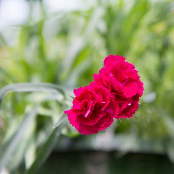 Image Of Carnation Trailing