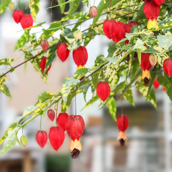 Image Of Chinese Lantern Abutilon