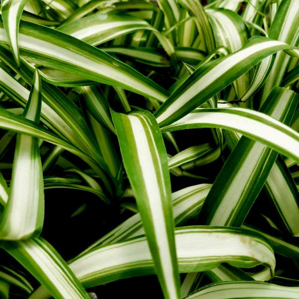 how to grow a spider plant from a cutting