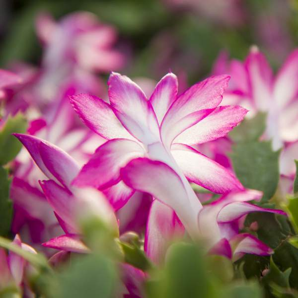 Christmas Cactus Pink - Rooted Cutting Liner
