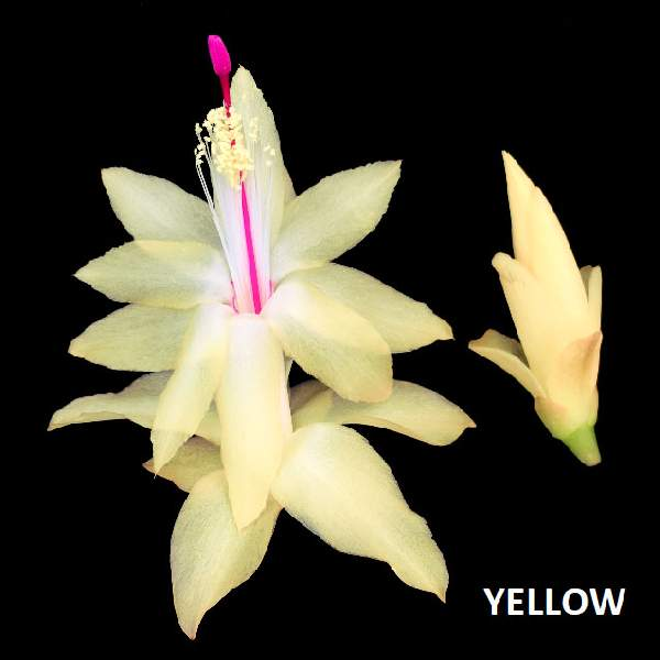 Christmas Cactus Yellow - Rooted Cutting Liner