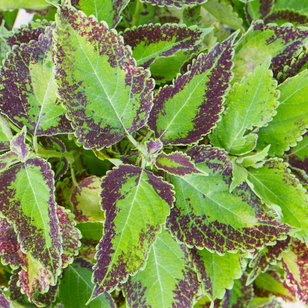Coleus French Fry - Rooted Cutting Liner