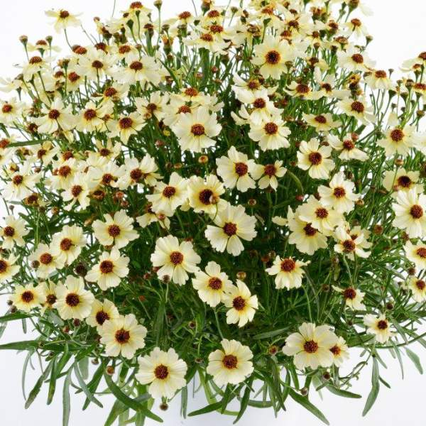 Coreopsis Highland Haze - Rooted Cutting Liner