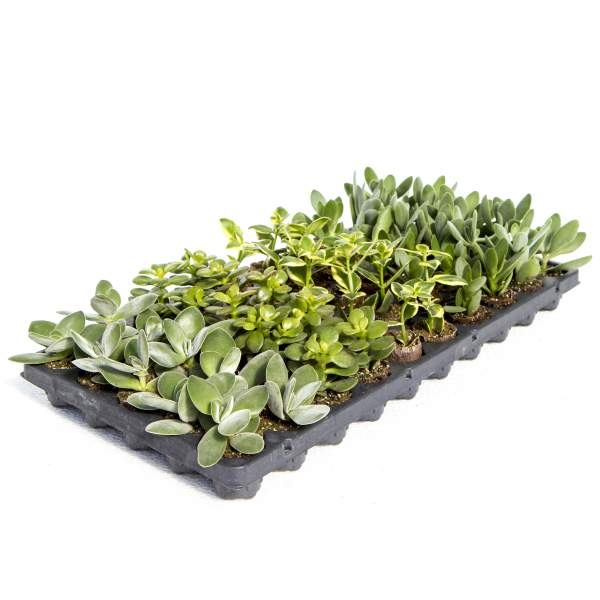 Succulents Crassula Assortment - Rooted Cutting Liner