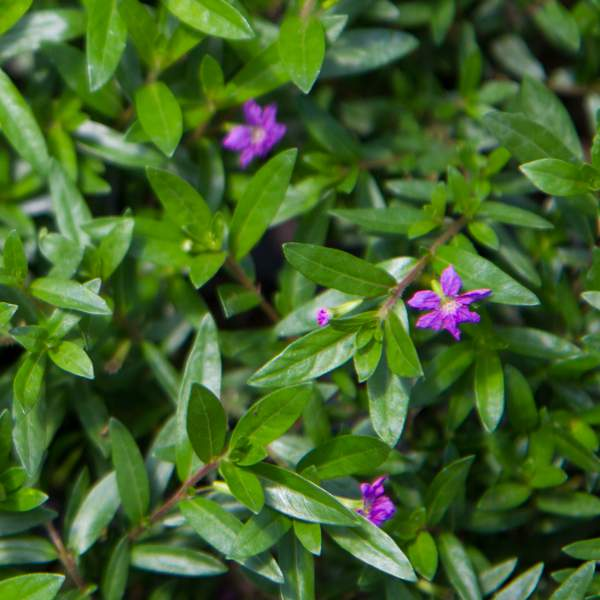 Image Of Cuphea Mexican Heather Allyson Purple