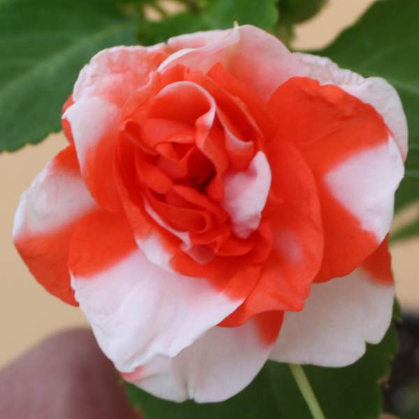 Image Of Double Impatiens Orange White