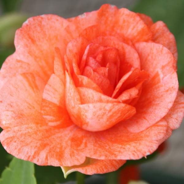 Double Impatiens Orange Swirl - Rooted Cutting Liner