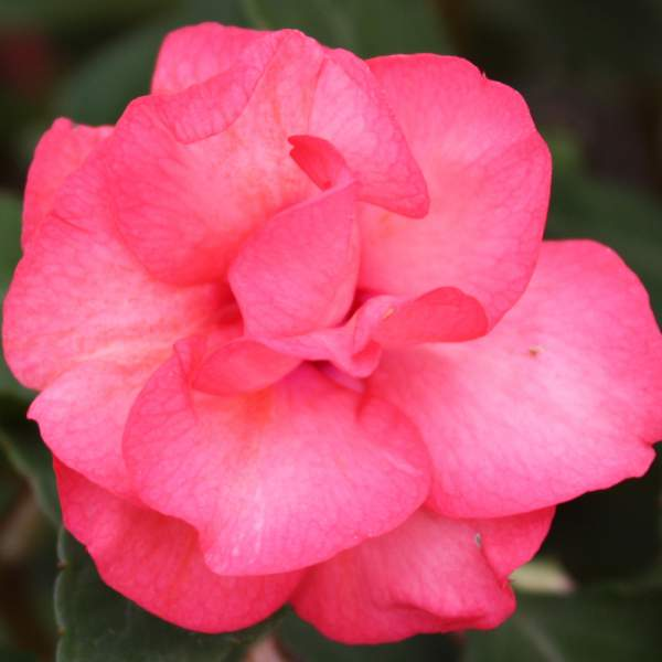 Double Impatiens Pink - Unrooted Cuttings