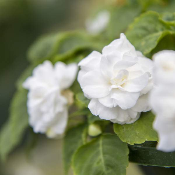 Double Impatiens White - Rooted Cutting Liner