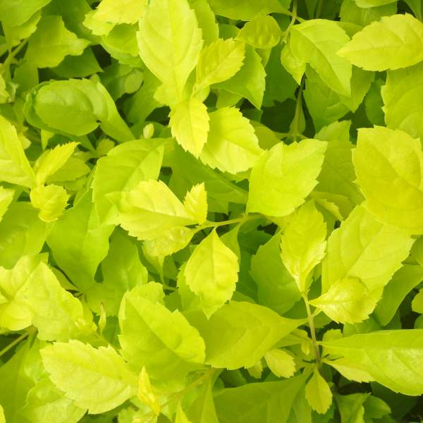 Image Of Duranta Erecta Aurea Yellow