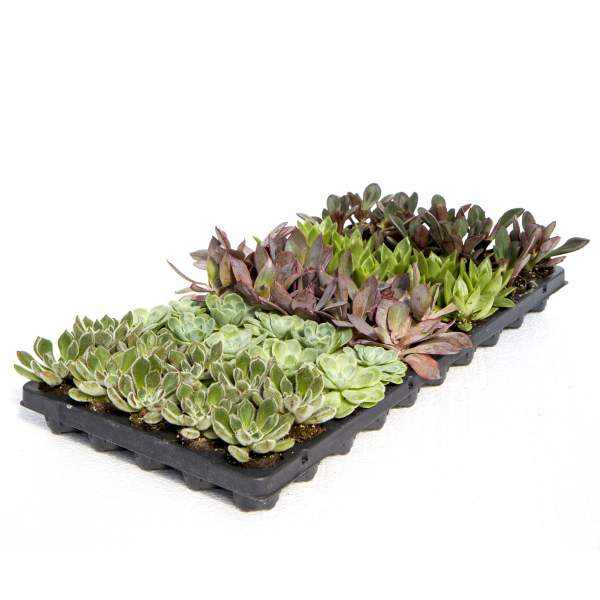 Image Of Succulents Echeveria Assortment