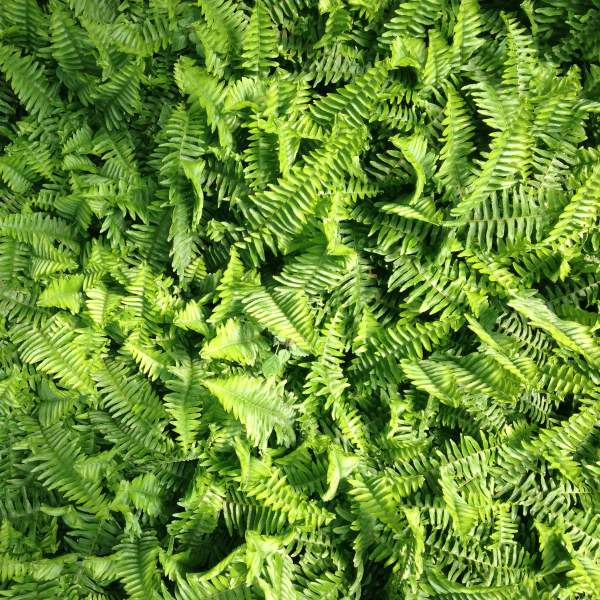 Image Of Fern Emerald Queen  Australian Sword Fern