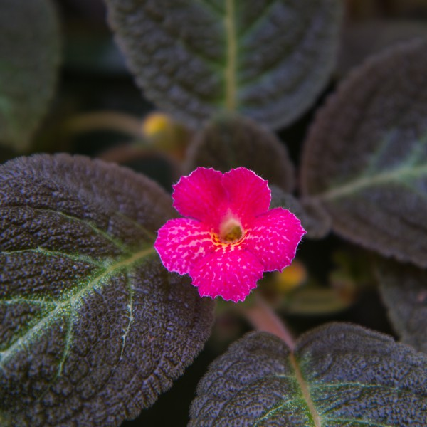 Image Of Episcia Mixture