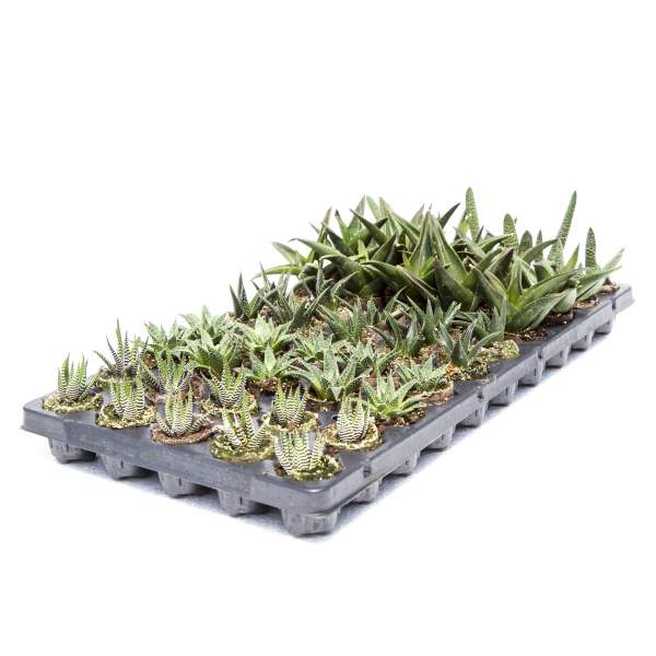 Succulents Exotic Mixture - Rooted Cutting Liner