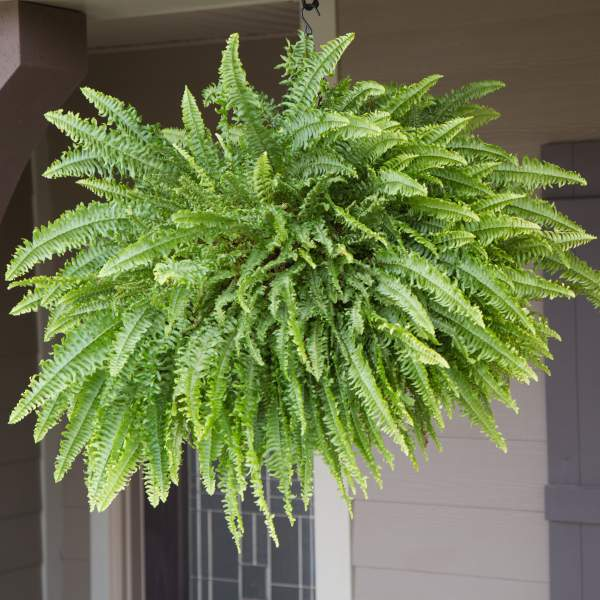 Fern Boston Compacta - Rooted Cutting Liner