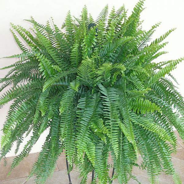 Fern True Boston Massii - Rooted Cutting Liner