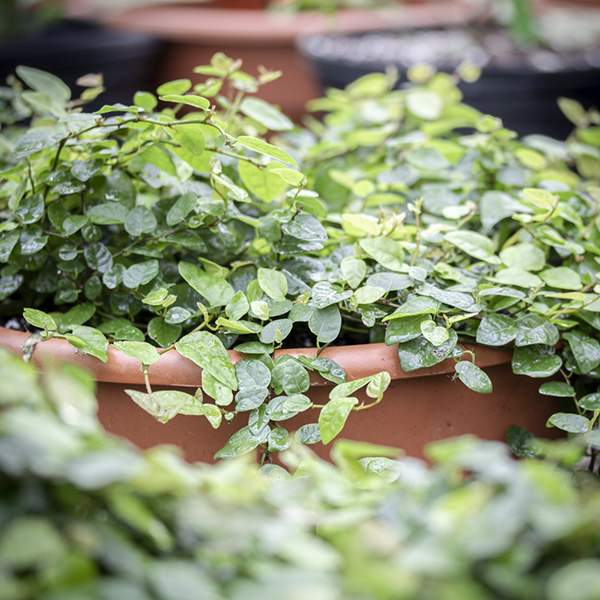 Image Of Ficus Pumila Creeping Fig