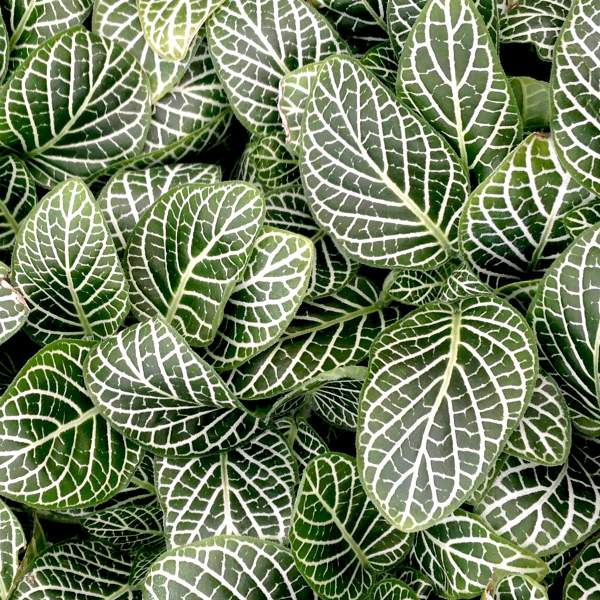 Fittonia White Mini - Rooted Cutting Liner