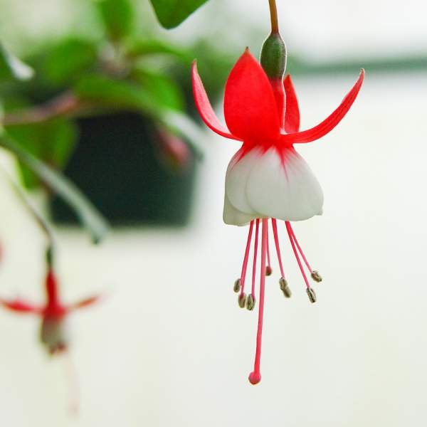Fuchsia Jingle Bells