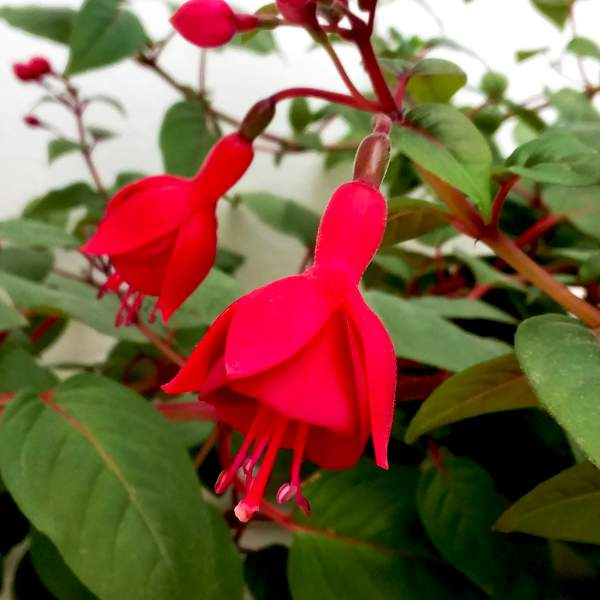 Fuchsia Marinka - Rooted Cutting Liner