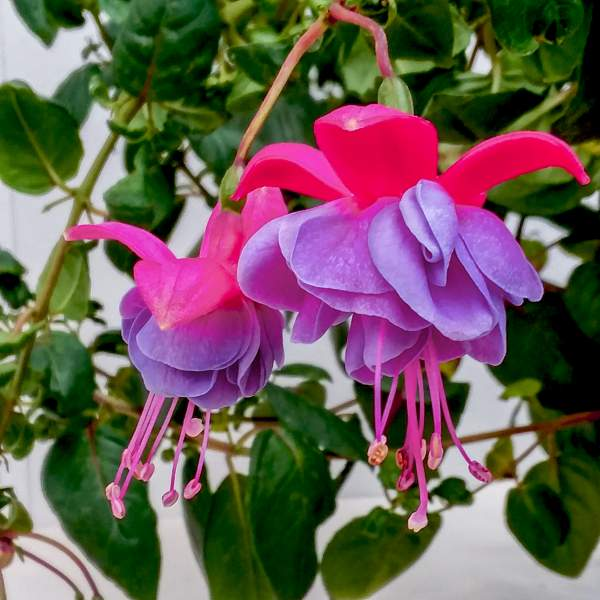 Fuchsia Winston Churchill - Rooted Cutting Liner
