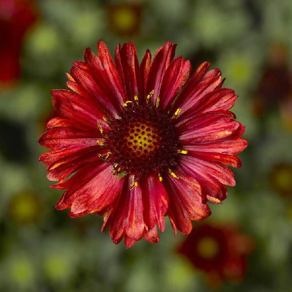 Image Of GAILLARDIA BARBICAN RED