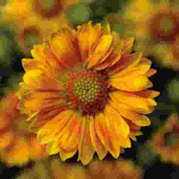 Image Of GAILLARDIA SUNRITA PEACH