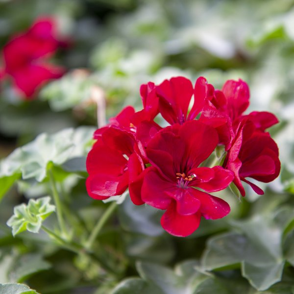 Geranium Ivy Apex Red - Rooted Cutting Liner