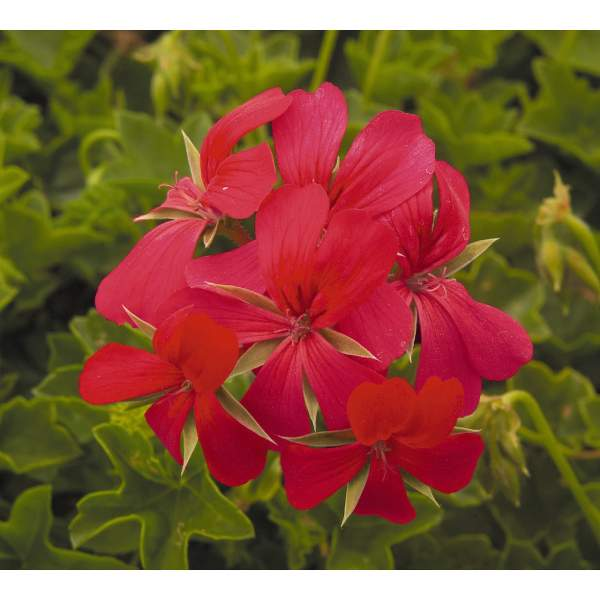 Image Of Geranium Ivy Minicascade Red