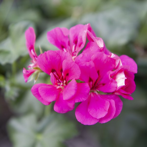Geranium Ivy Rhapsody Pink - Rooted Cutting Liner
