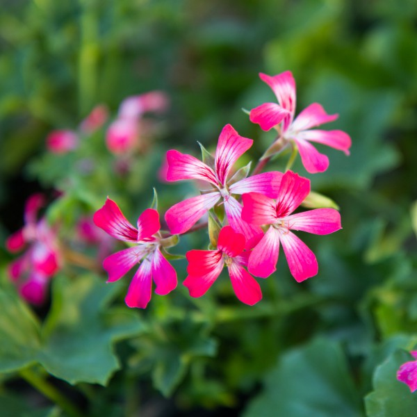 Geranium Ivy Ville De Paris Bicolor - Rooted Cutting Liner