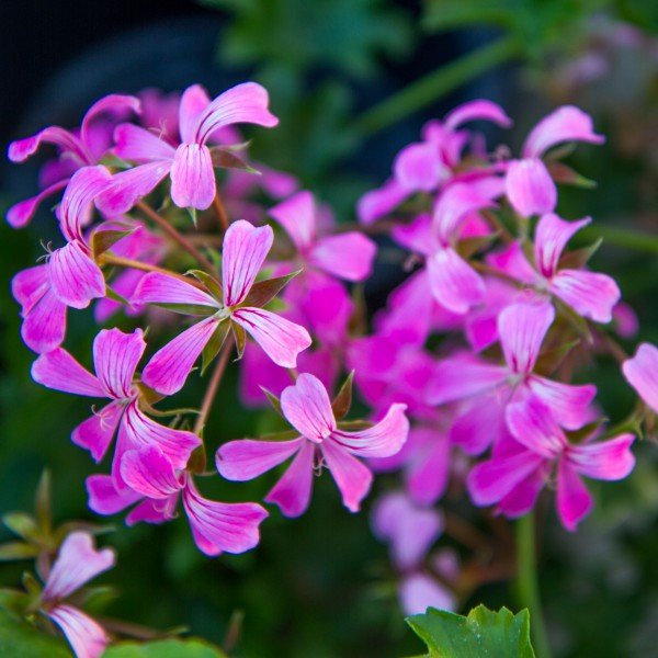 Image Of Geranium Ivy Ville De Paris Lilac