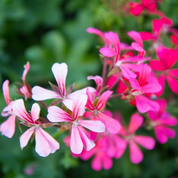 Image Of Geranium Ivy Ville De Paris Pink