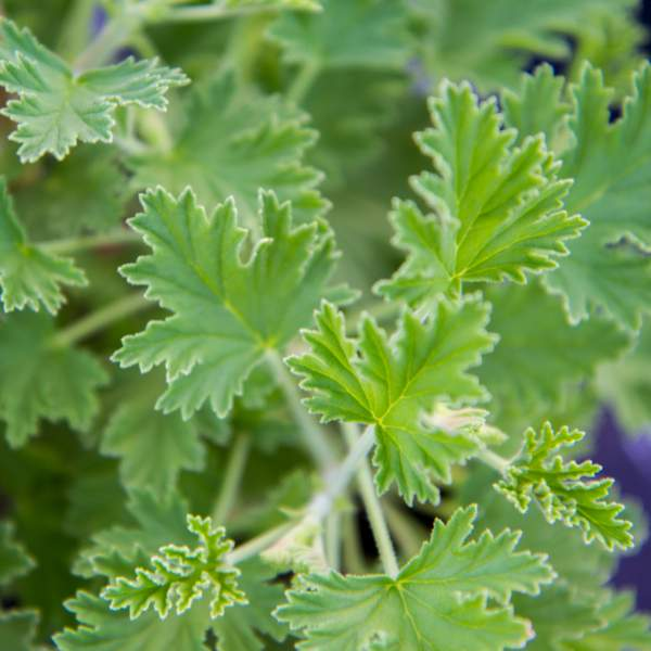 Image Of Geranium Scented Citriodorum