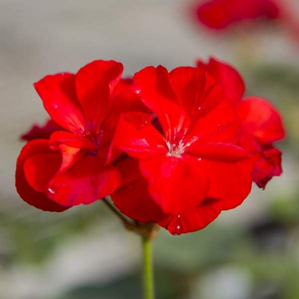 Image Of Geranium Zonal Patriot Bright Red