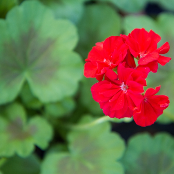 Geranium Zonal Variegated Occould Shield - Rooted Cutting Liner