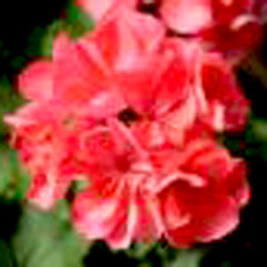 Image Of Geranium Zonal Patriot Salmon