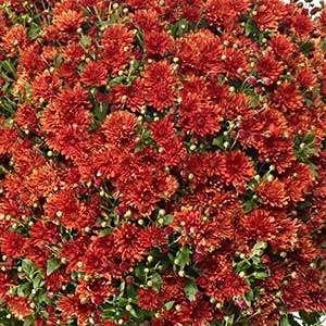 Belgian Mum Girona Orange - Rooted Cutting Liner