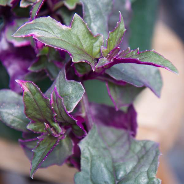 Image Of Gynura Purple Passion Variegated