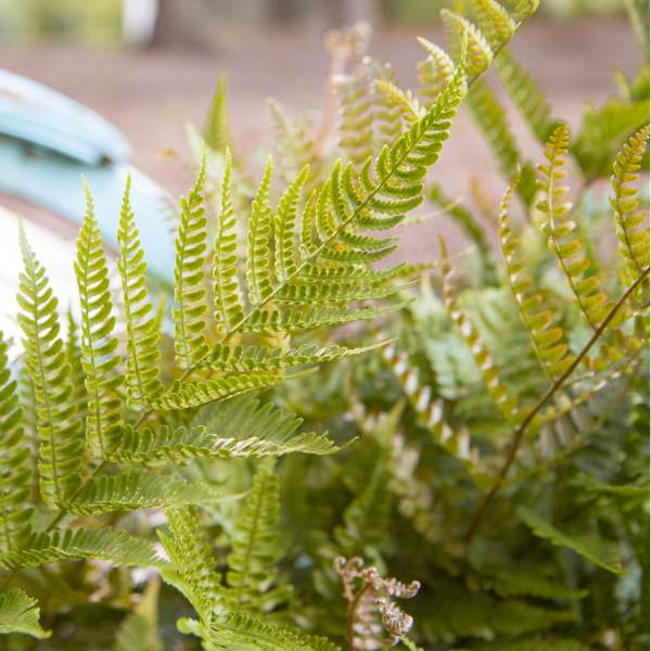 Hardy Fern Brilliance Autumn - Rooted Cutting Liner