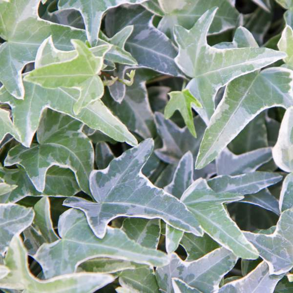 Hedera Ivy Ann Marie - Rooted Cutting Liner